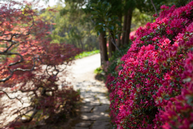 Azaleas bloom at the Everglades Gardens in Speing