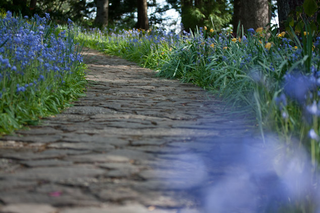 The Bluebell walk at the Everglades Gardens in Spring